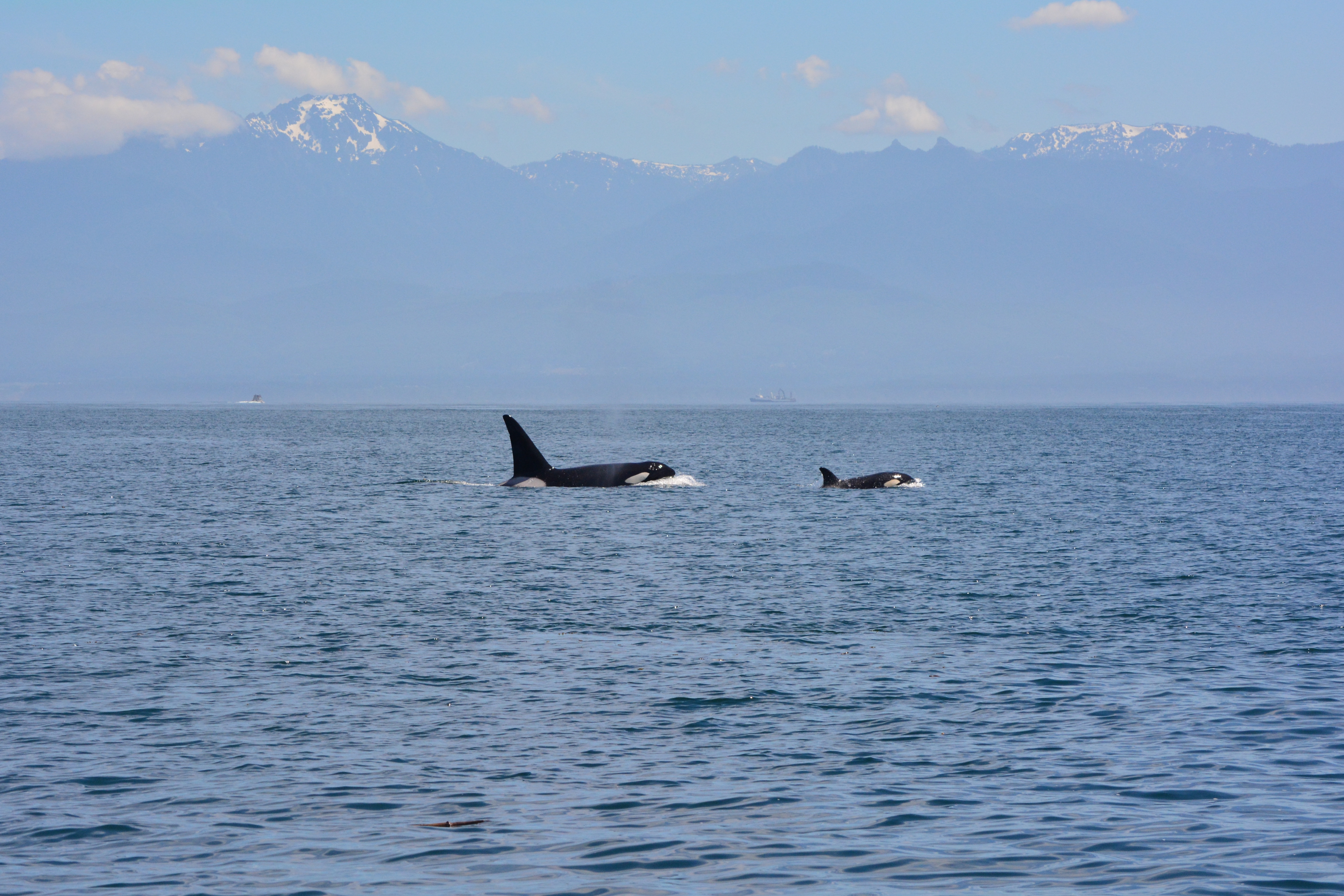 A Grand Tour of the Salish Sea – Residents and Transients Killer Whales on Opposite Corners