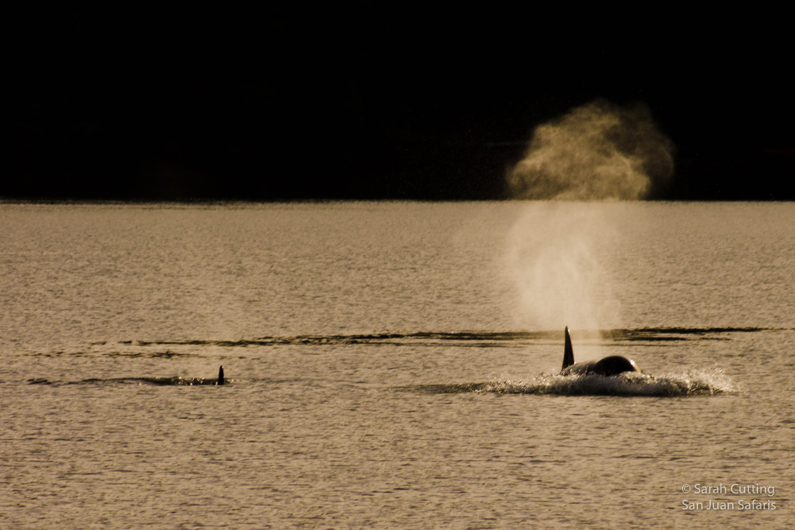 Why All the Transient Killer Whales?