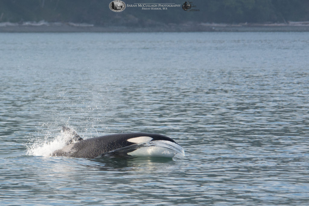 Juvenile Bigg's orca