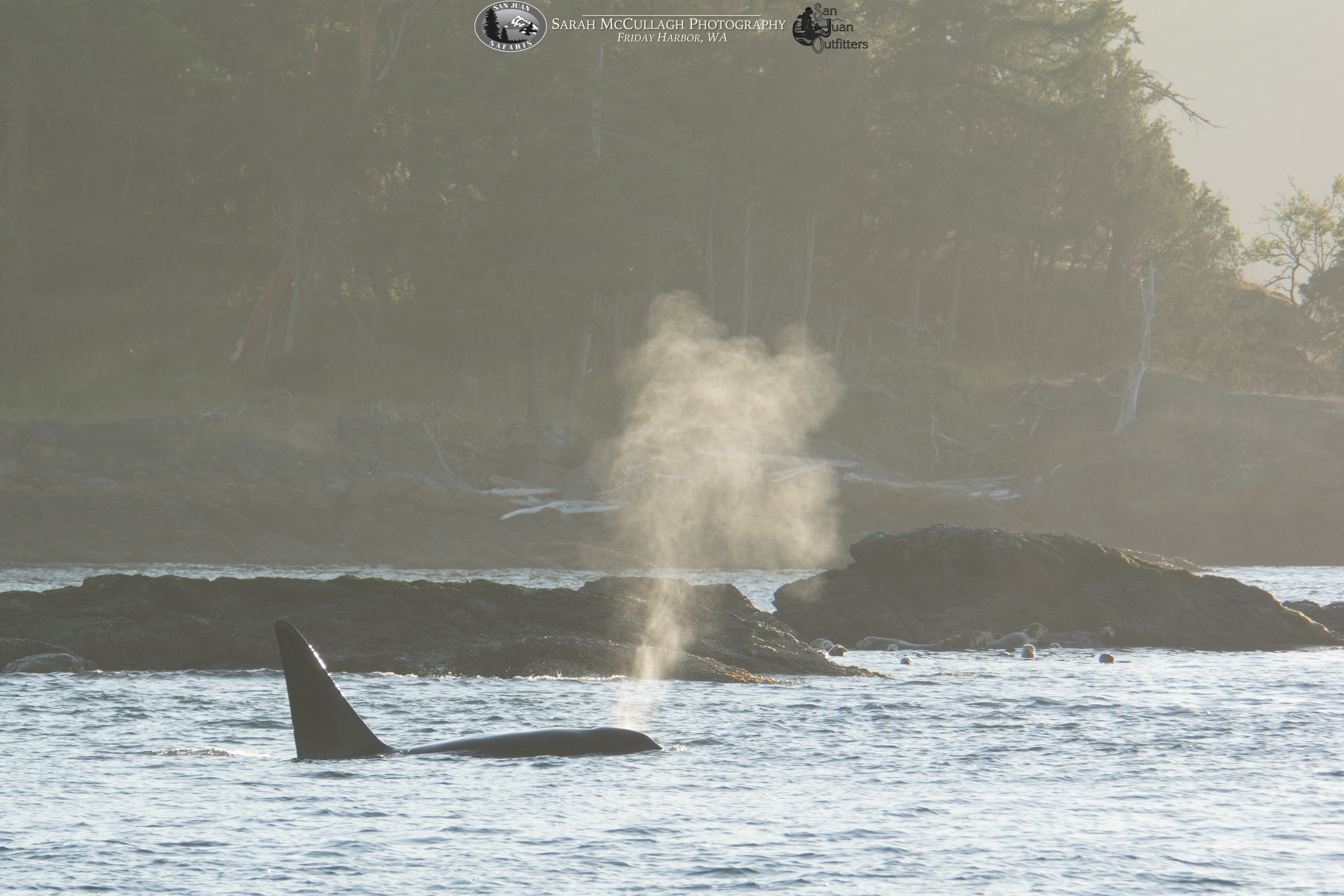 T049A1, a transient killer whale