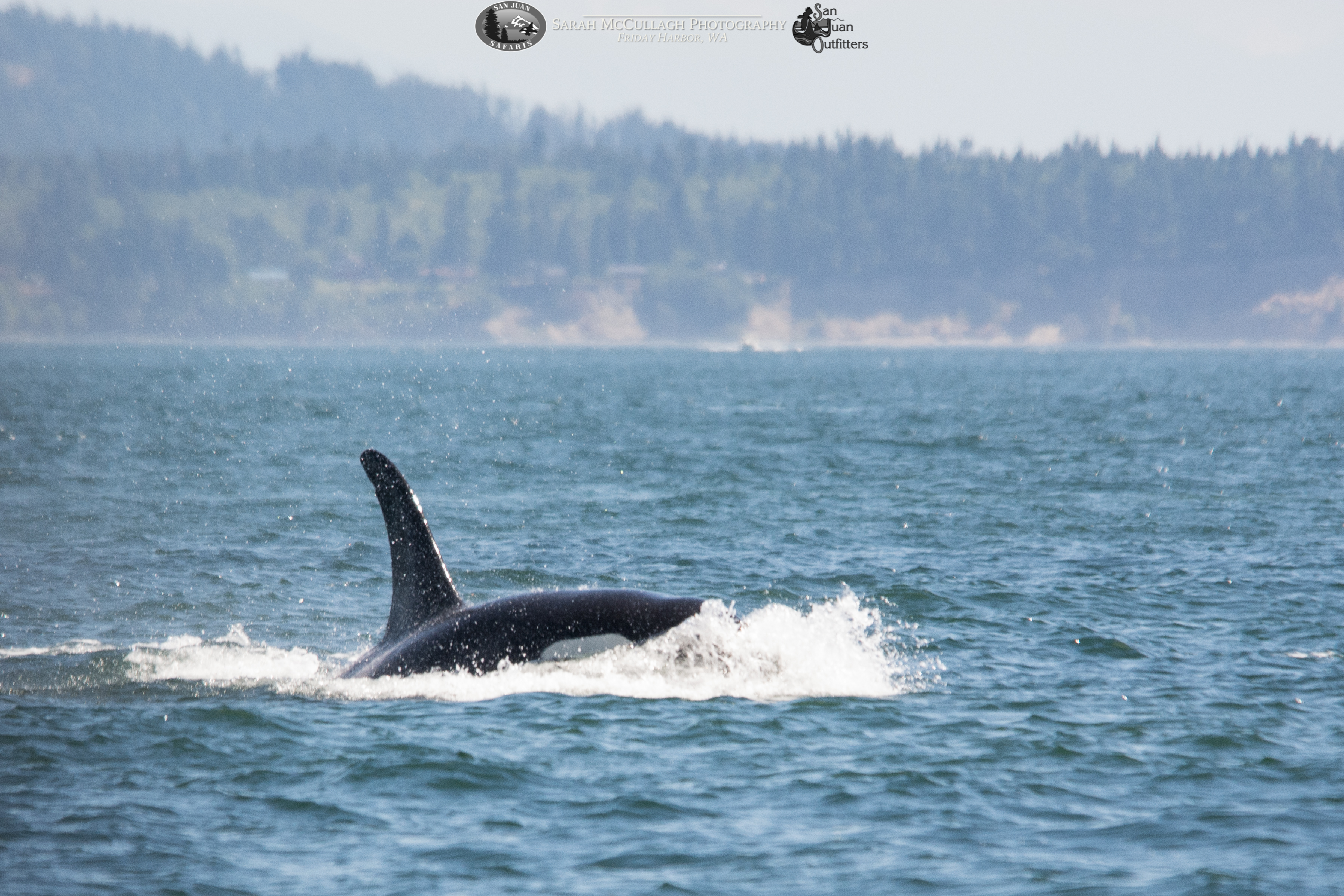 We Have Visitors! Transient Orcas Spotted in Haro Straight