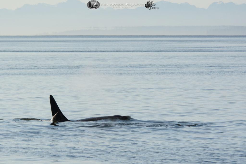 Orcas Surfacing