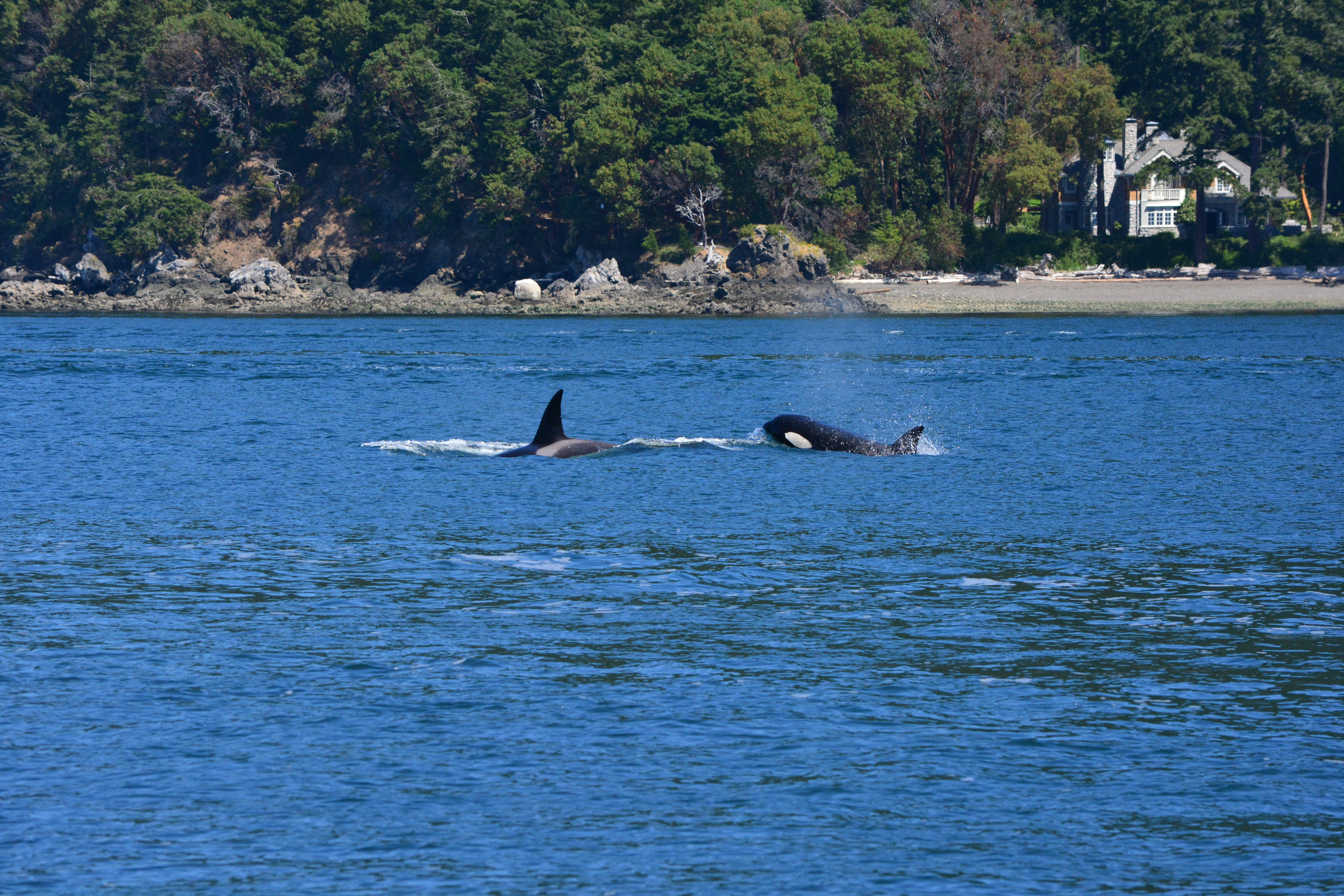 Transients All Over the Place! It's a Salish Sea-labration.