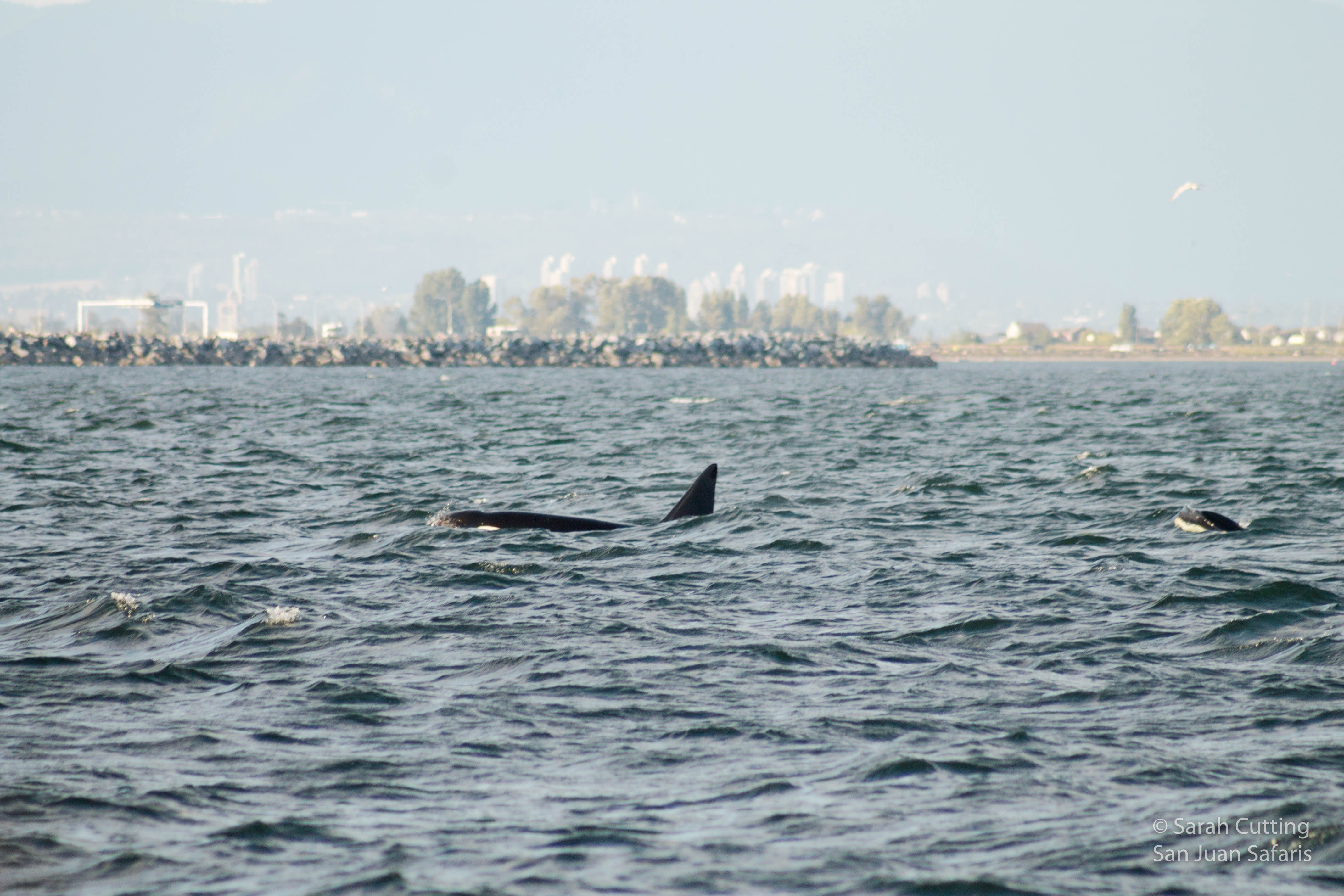Transient Killer Whales in Vancouver!