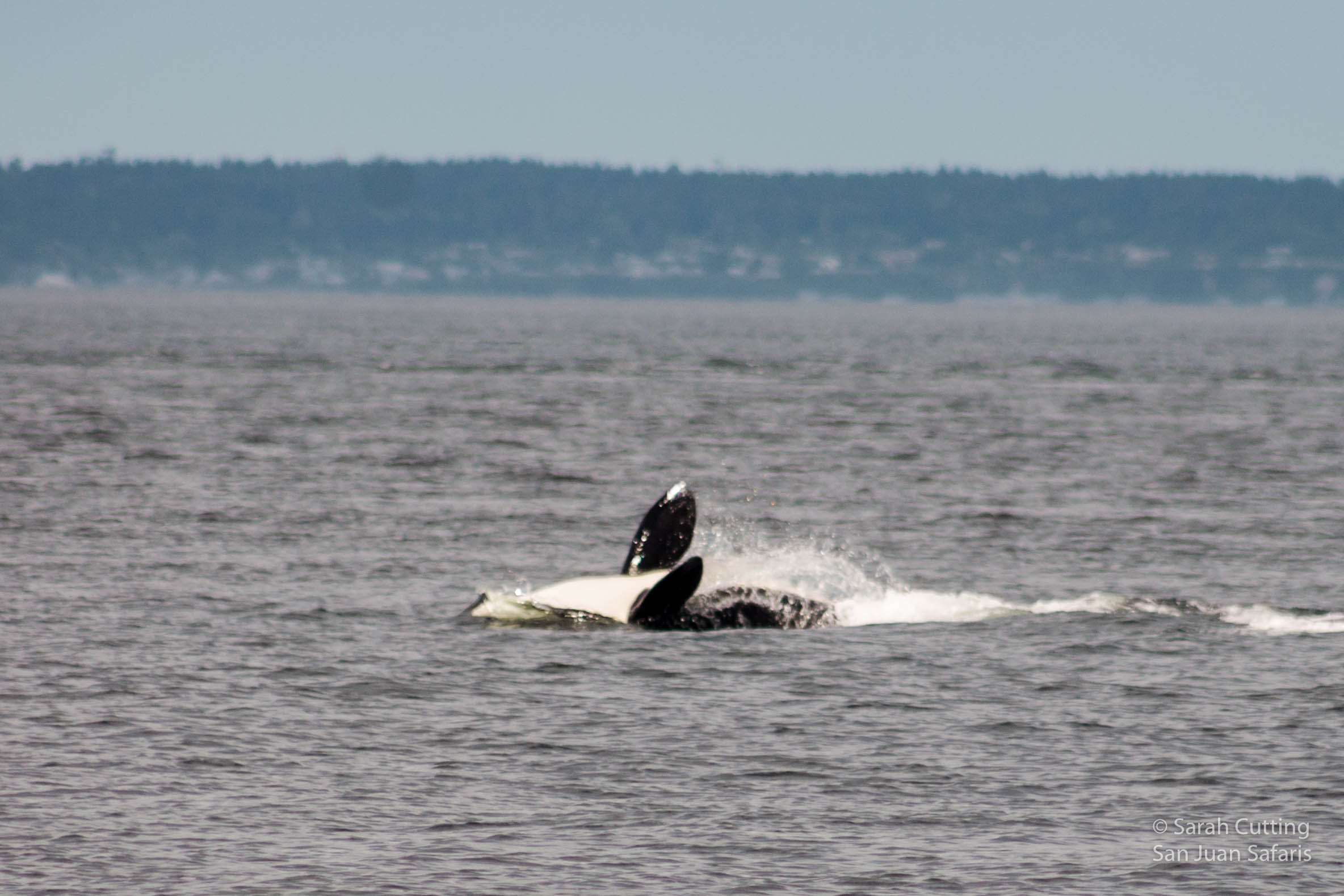 A Magical Encounter with Southern Resident Killer Whales