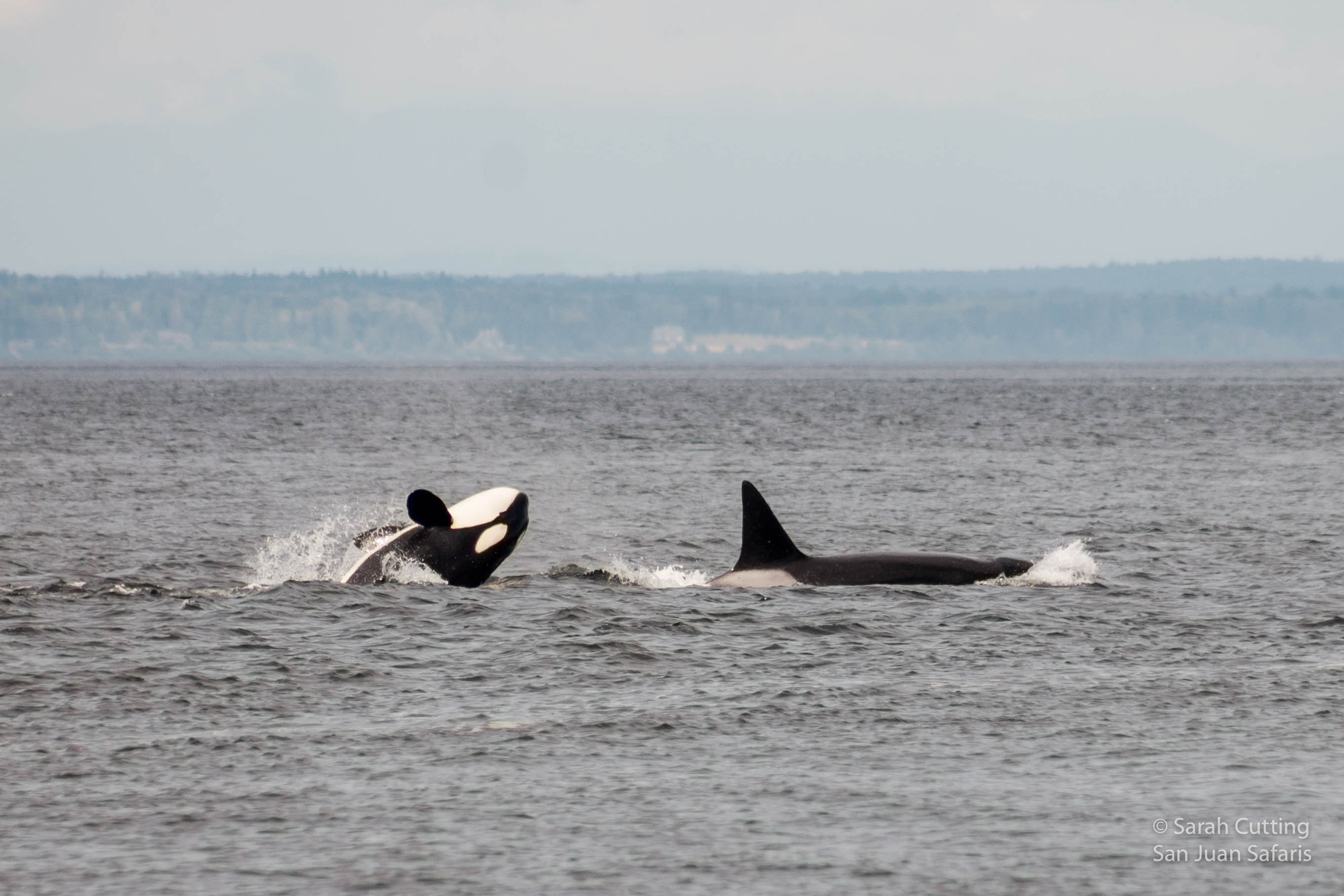 Whales at Whale Rocks?? When Orcas Fly!