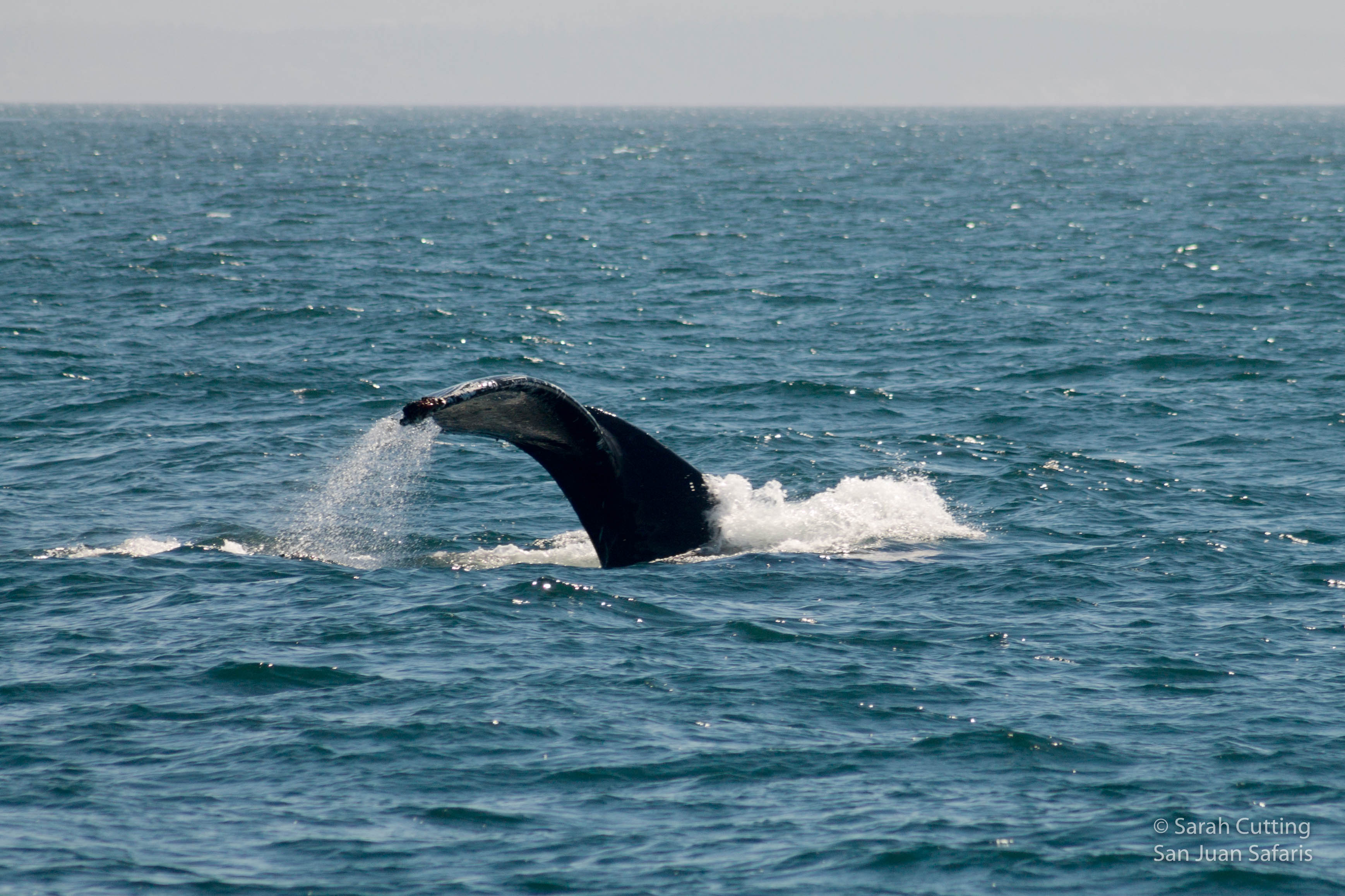 A Breaching Baby Humpback Whale!