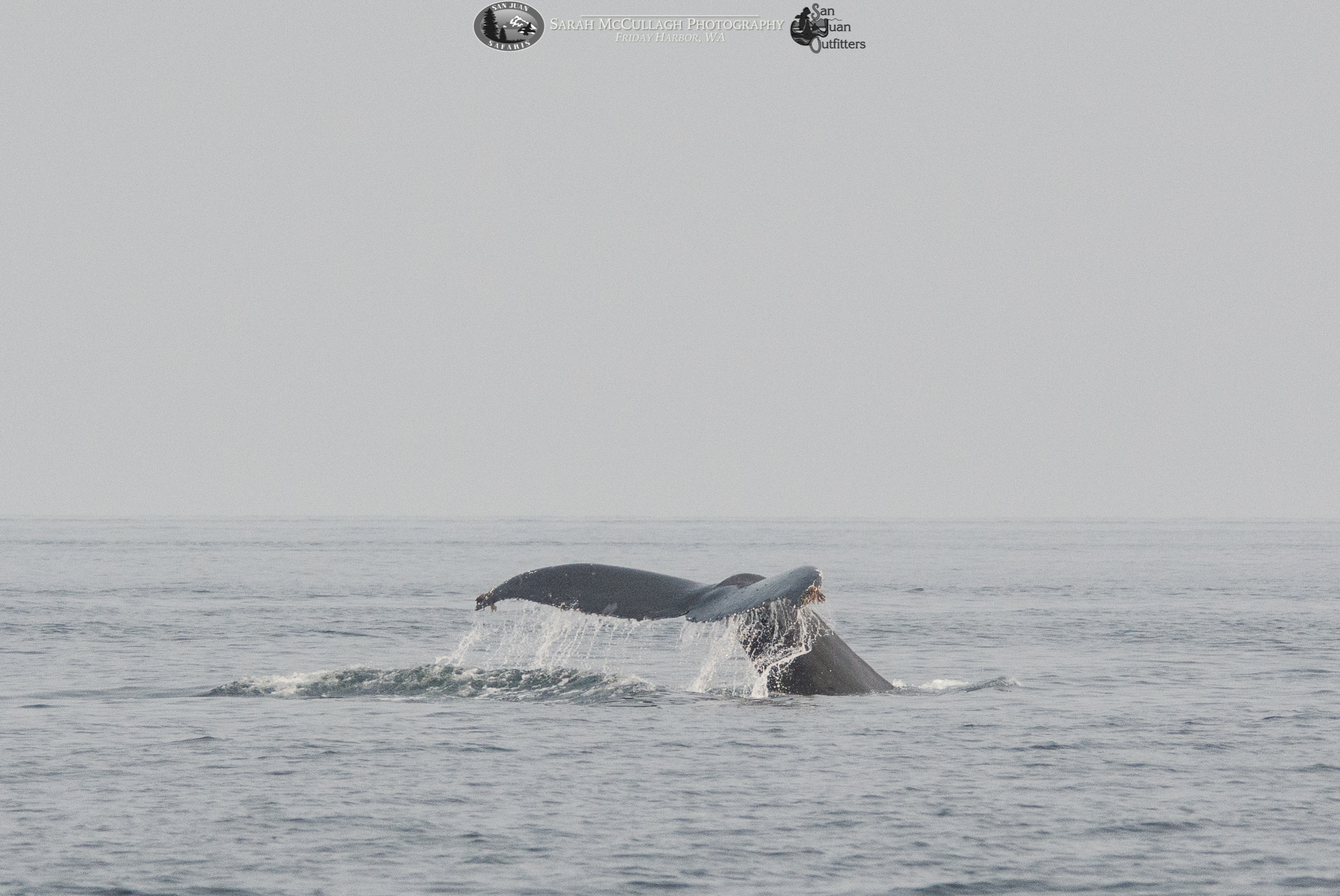 Not One, but TWO Humpbacks in Haro Straight