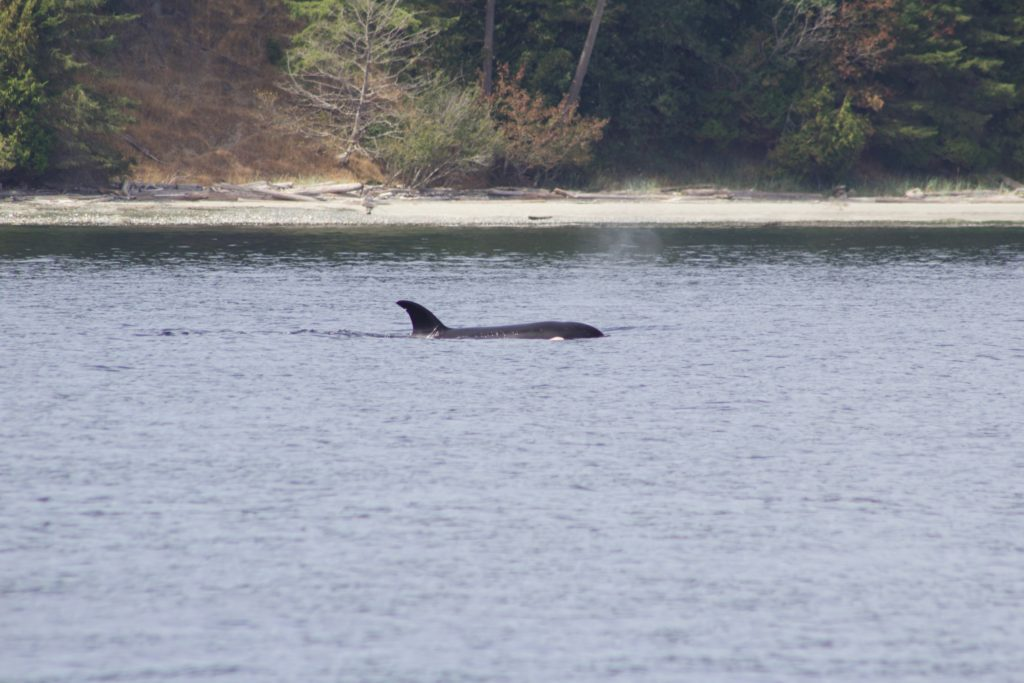 Transient Orca