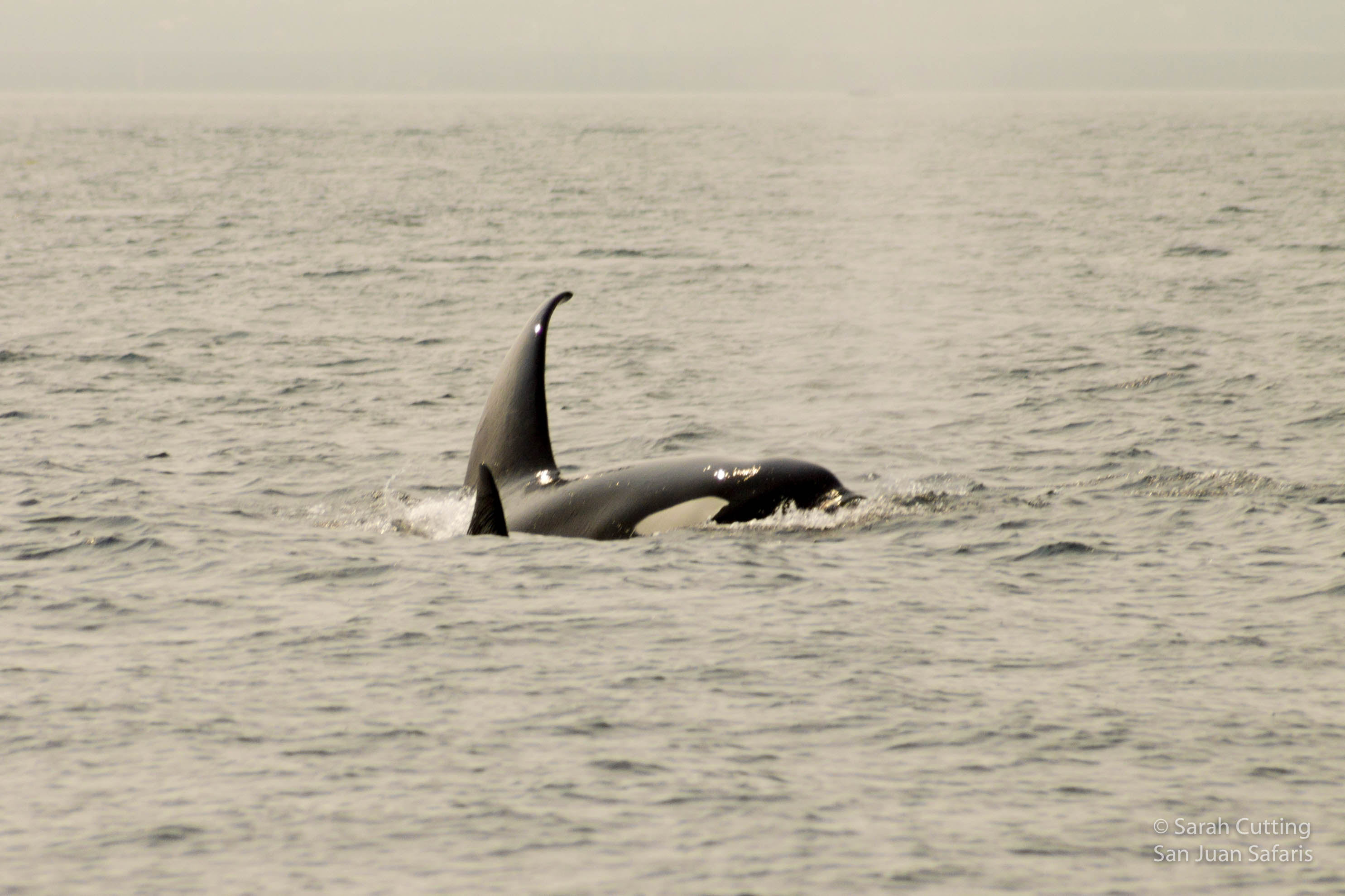 Favorite Family of Transient Orcas Hang Out in the San Juans