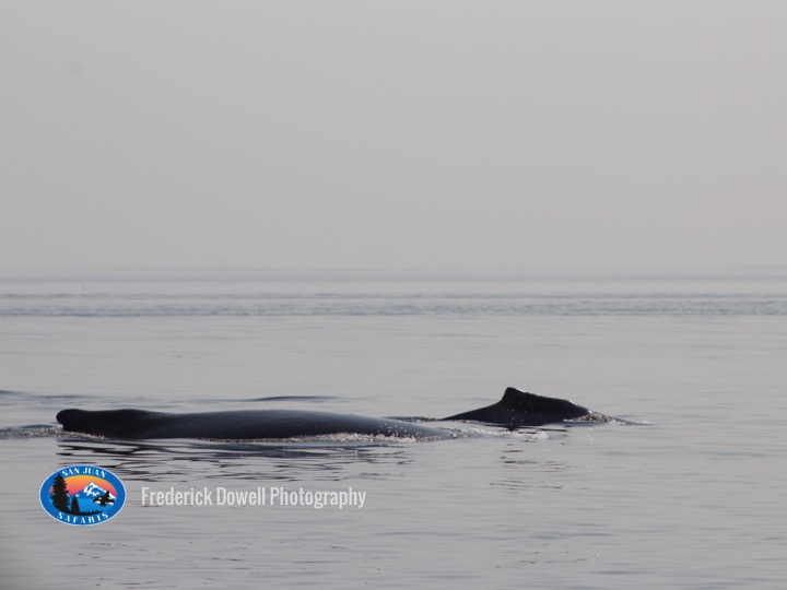 NE Pacific Humpback Whales