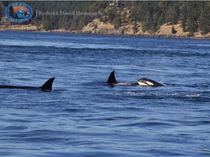 Transient Orcas Tearing Up San Juan Channel