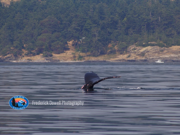 NE Pacific Humpback Whale