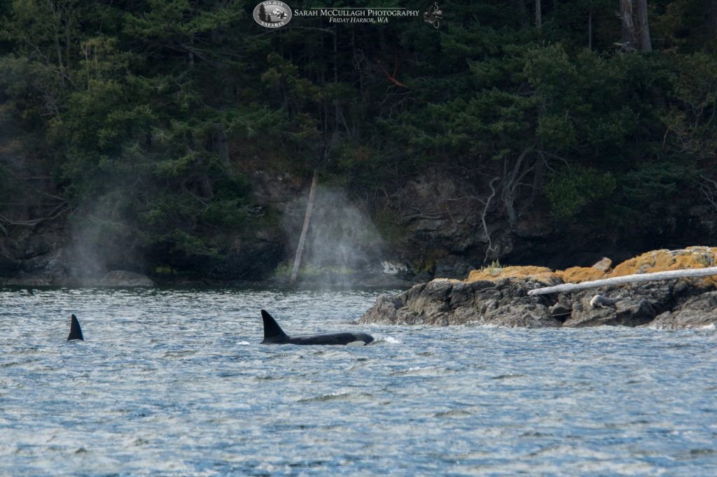Transient Killer Whales in Eastsound