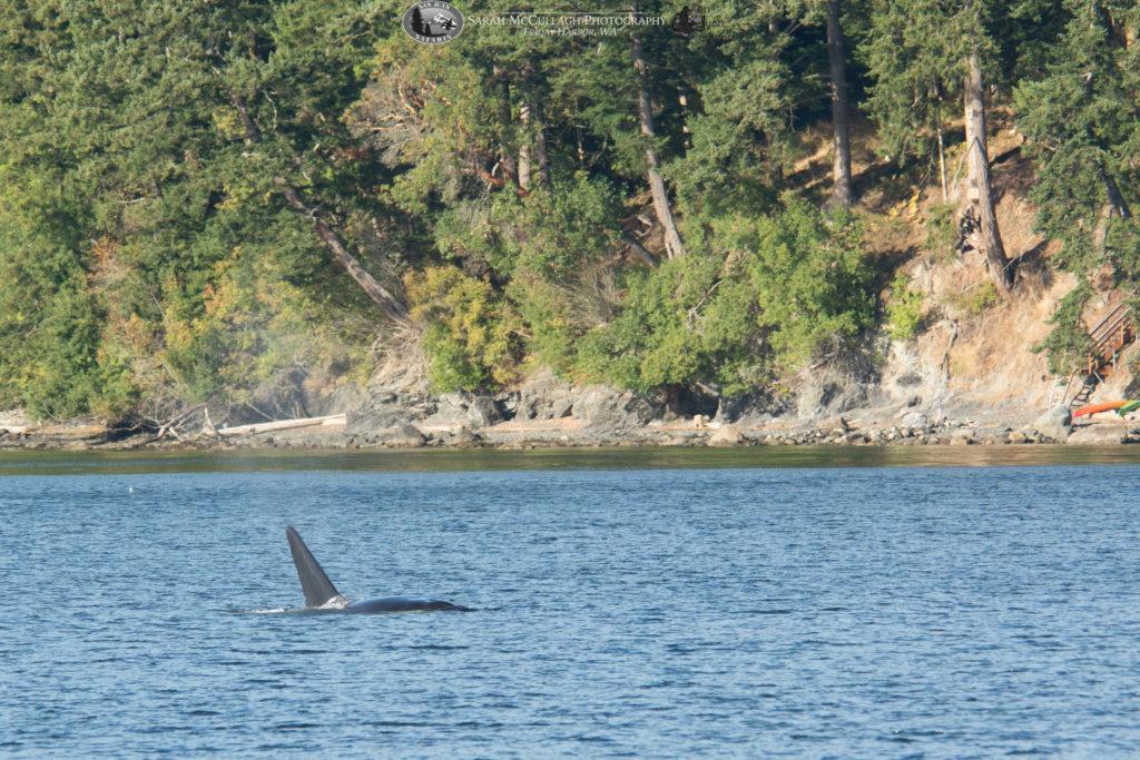 Transient killer whale