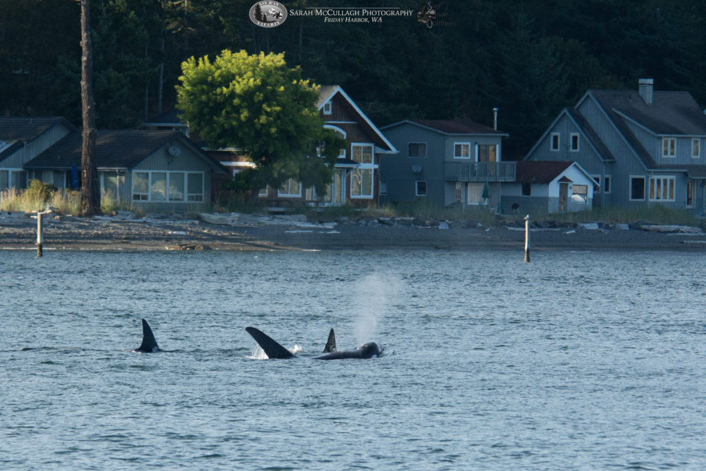 Transient killer whales in Obstruction Pass