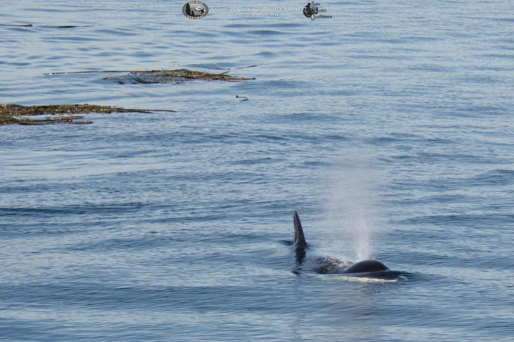 Southern Resident Killer Whale & Kelp