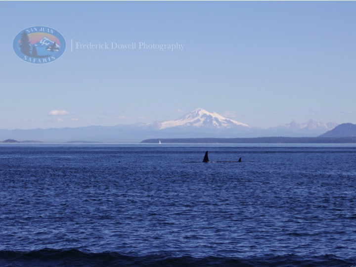 Transient Orcas Travel Through Boundary Pass
