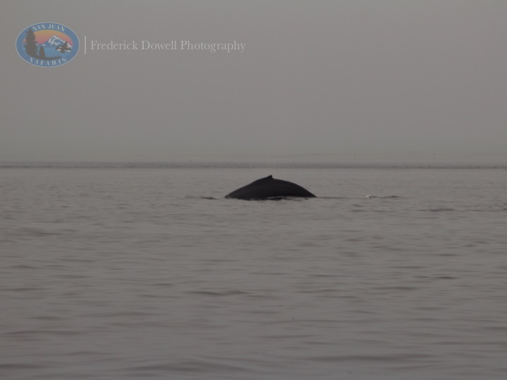 A Surprise Minke Whale and Two Humpback Whales in the Strait