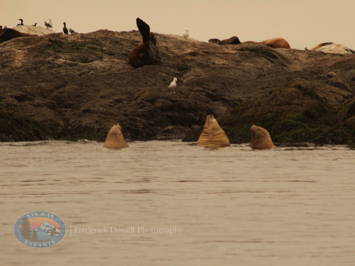 Transient Orcas Nap in Admiralty Inlet
