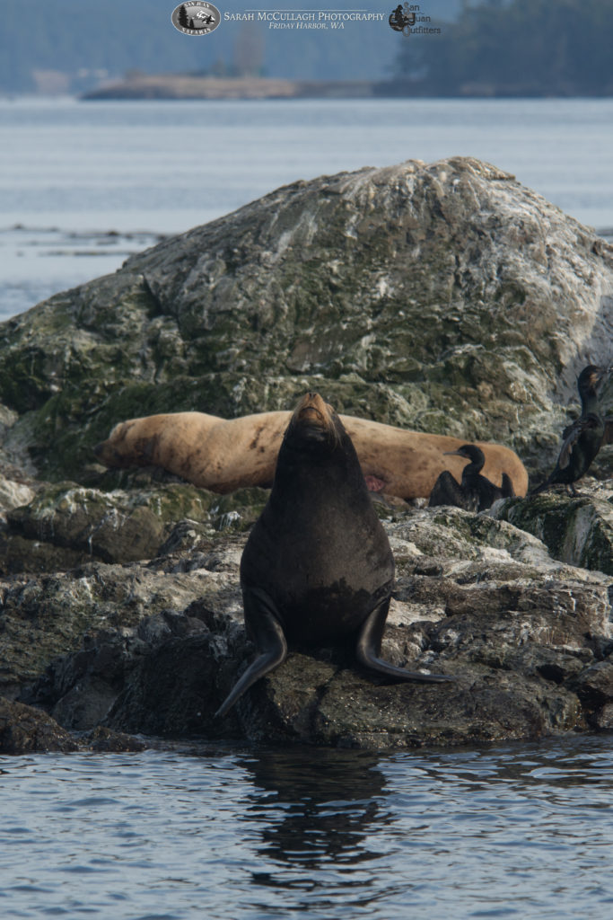 California & Steller's sea lions