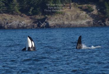 Orca Whale Watching Seattle, WA by San Juan SafarisSeattle