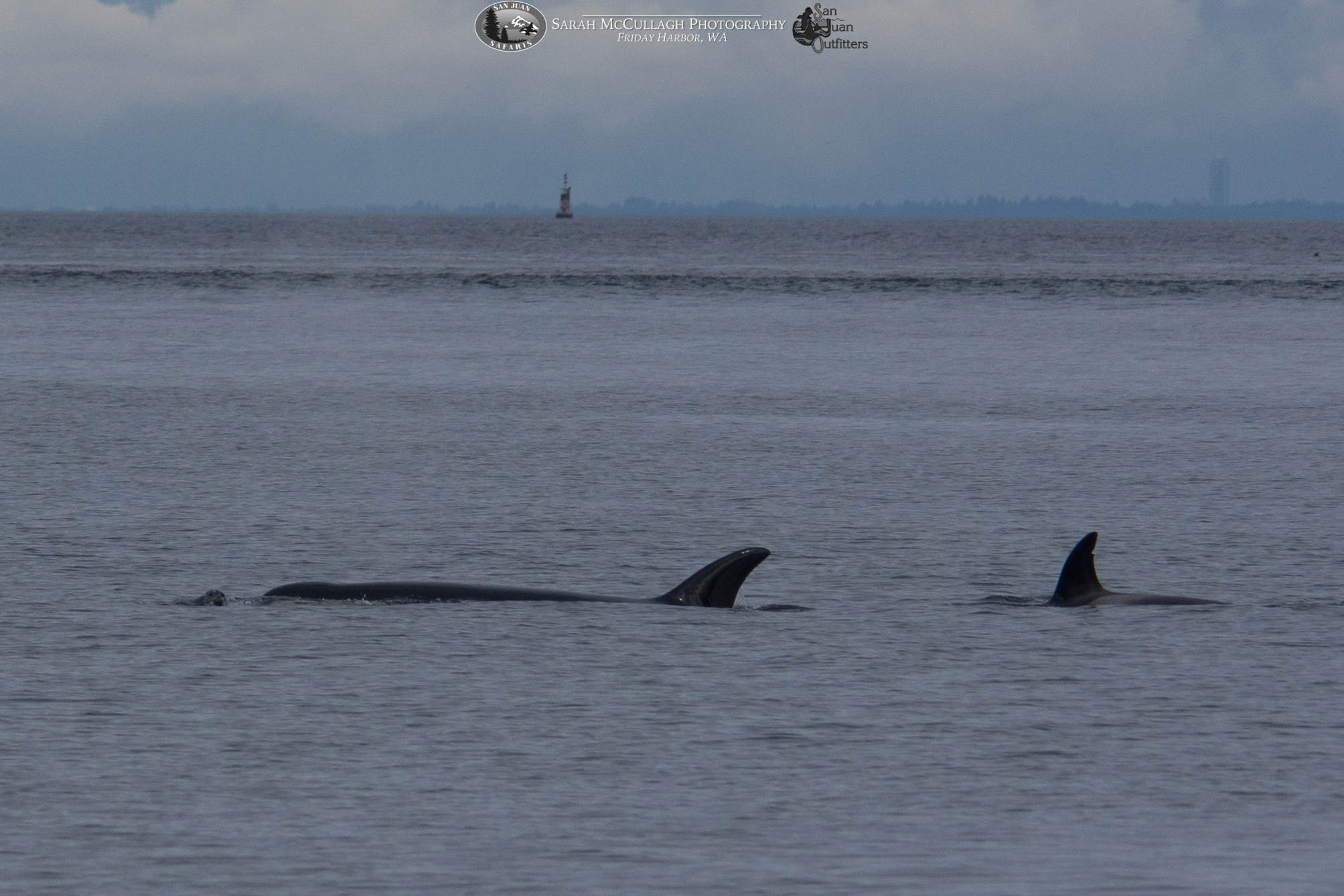 Bigg's Orcas in the Salish Sea… with the Candlestick? This Whodunnit's been Solved!