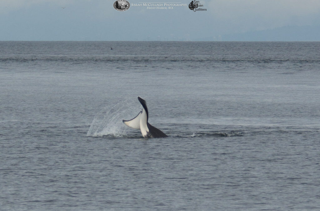 J Pod Orcas Play on the West Side