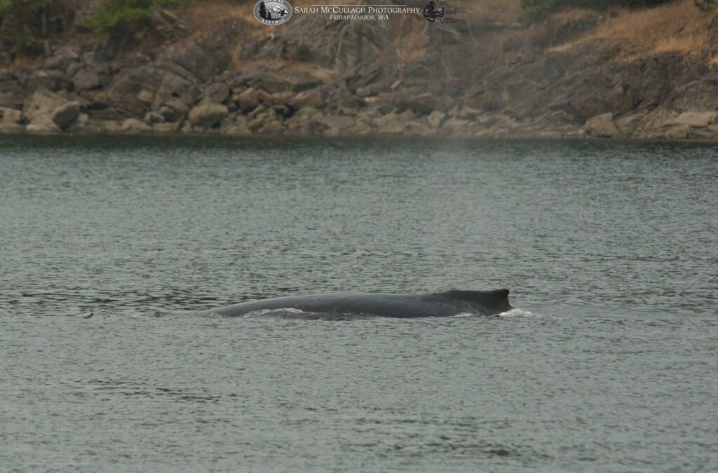 Young Humpback Whale Investigates Bedwell Harbor