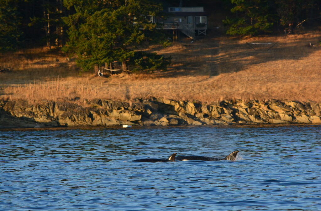 Transients GALORE – Following Orcas From Spieden to Turn Point