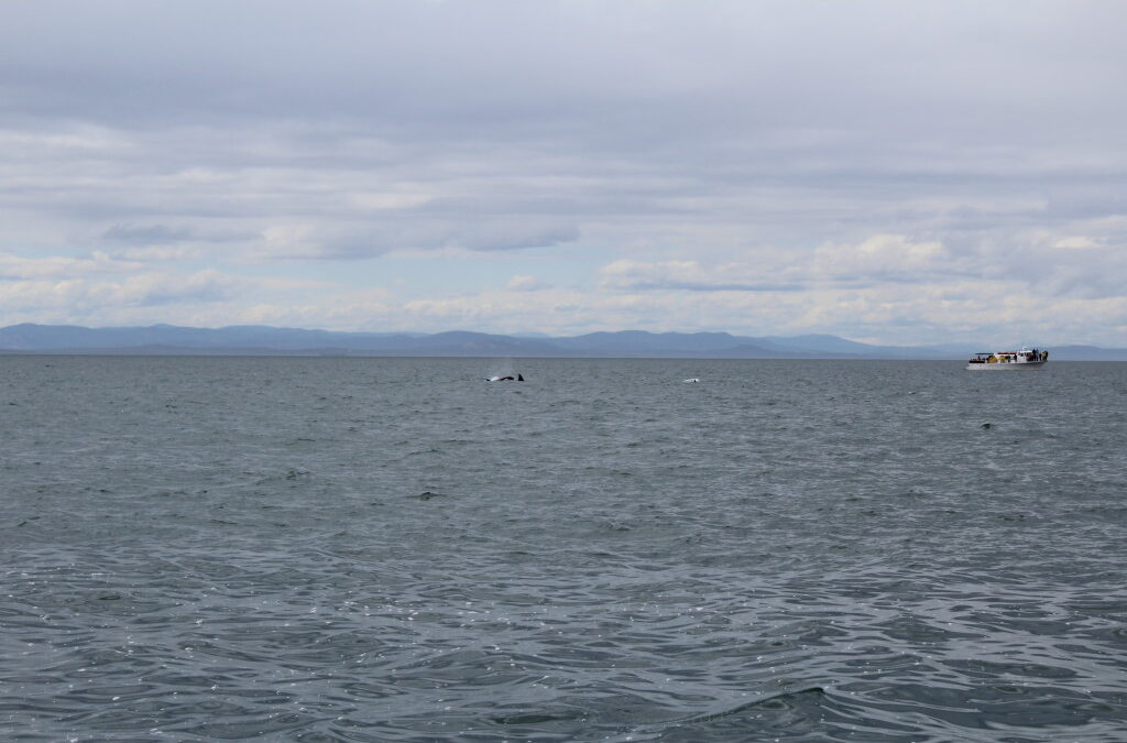 Transient Orcas Hunt With A Porpoise…well hunt a porpoise