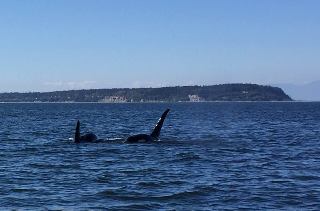 Just Another Strait of Georgious Day – Transient and Resident Orcas around Pt. Roberts!