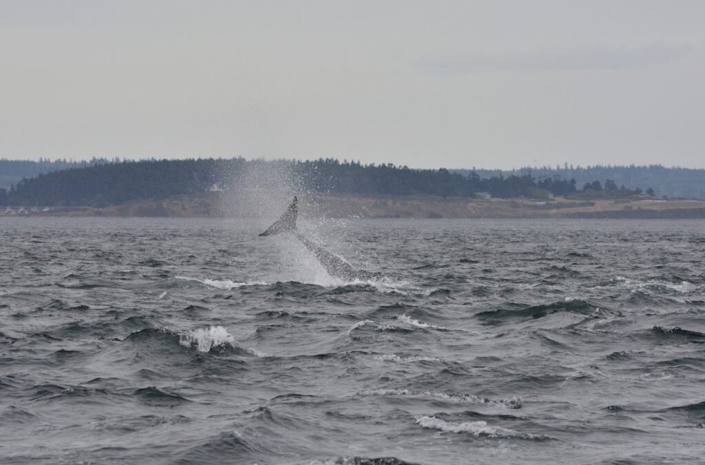The Most Active Transient Whales You Ever Did See – Whale Watching Near Victoria and Port Townsend